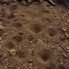 Ant lion pit