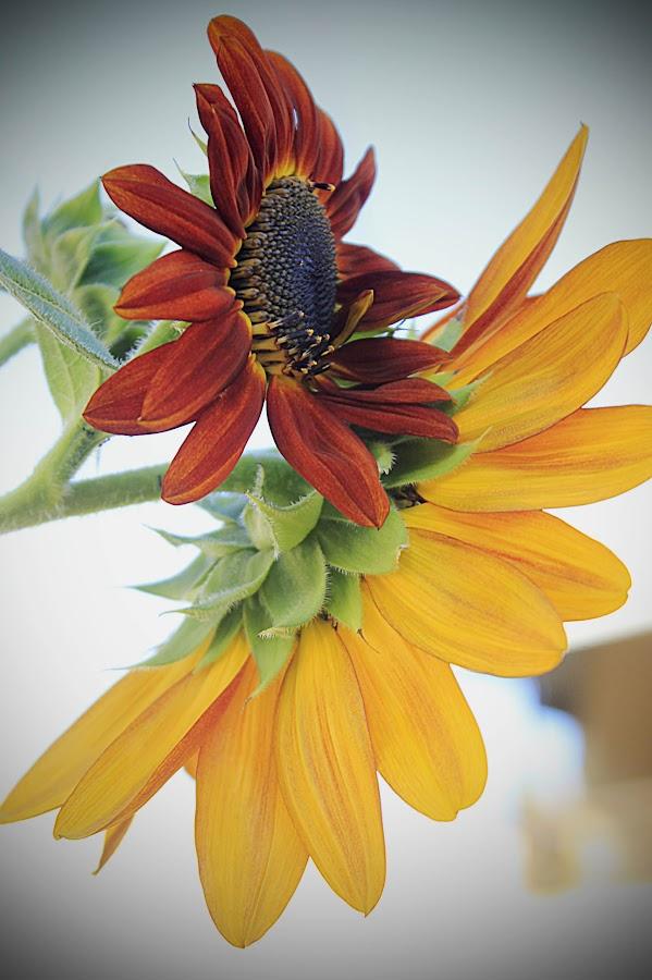 by Vanessa Lazzarini - Flowers Flowers in the Wild ( nature, sunflower, flower, Hope )