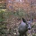 Maine whitetail deer
