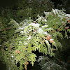 Northern White Cedar Tree