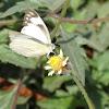 Eastern Striped Albatross Butterfly
