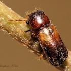Horned Powder-post Beetle