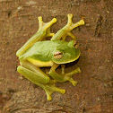 Glass Tree Frog