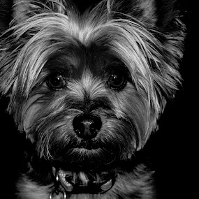 invisible black backdrop technique by Christopher Wu - Animals - Dogs Portraits ( yorkie, yorkshire terrier, black and white, white, terrier, dog, black, black&white, #GARYFONGPETS, #SHOWUSYOURPETS, animal )