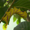 oriental eyed moth caterpilar