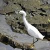 Snowy egret (Garza)