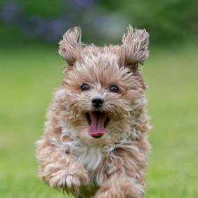 Funny Jumper by Michael Milfeit - Animals - Dogs Running ( bolonka, hund, nele, dog, full speed, running, bolonka zwetna,  )