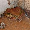 Ornate Nursery Frog