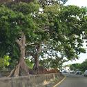 Ceiba trees