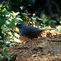 Grey-breasted Laughingthrush