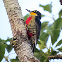 Yellow-fronted Woodpecker - female