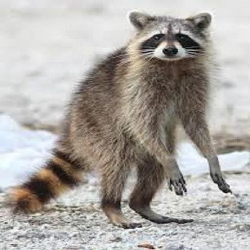 Raccoon Call