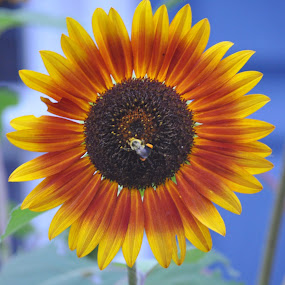 A bees best friend.....the beautiful sunflower by Donna Pavlik - Flowers Single Flower (  )