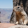 Grand Canyon Rock Squirrel