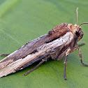 Dot-and-Dash Swordgrass Moth