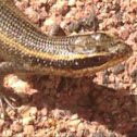 African Striped Skink