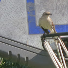 Brown Northern Mockingbird