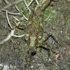 Moss Mimic Katydid
