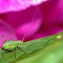 Speckled bush-cricket nymph / Punktierte Zartschrecke Jungtier