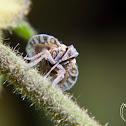 Cixiid Planthopper