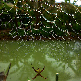 web spider  by Razone Wane - Nature Up Close Webs (  )