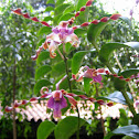 Dendrobium Milo