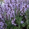 Salvia y campo de margaritas,amapolas,lilas,etc...