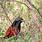 The greater coucal