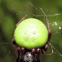 Green pea spider