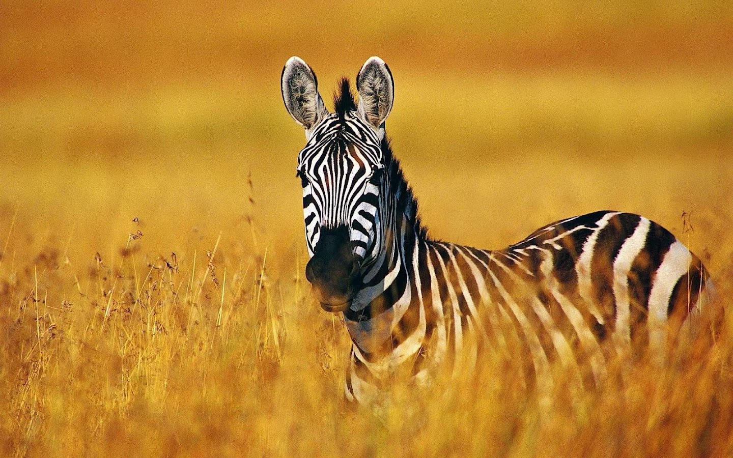 Zebra Wallpaper Android Apps on Google Play