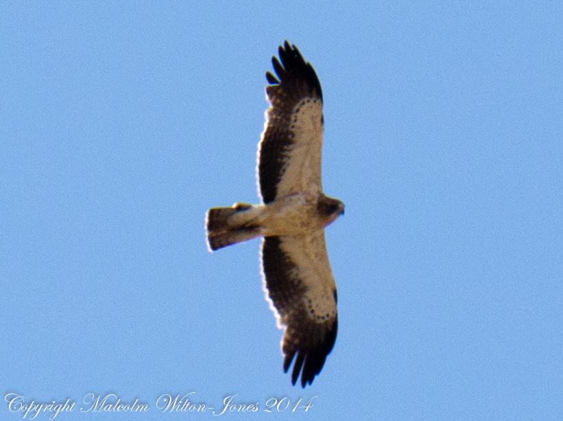 Booted Eagle; Aguila Calzada