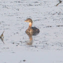 Pied-billed Grebe