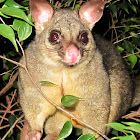 Common Brushtail Possum (adult female)