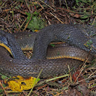 Yellow-bellied Watersnake