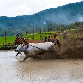 Pacu jawi by Alvi Eko Pratama - Sports & Fitness Watersports ( human interest, sport, traditional, travel, people, culture, animal )
