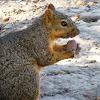Fox Squirrrel