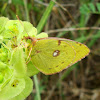 Berger's Clouded Yellow Butterfly ♂