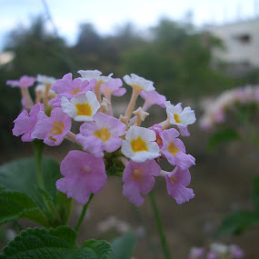 A Wild Flower in My Garden by Abhijith Odayoth - Flowers Flowers in the Wild ( casio, 4megapixels, land, me, house, flower )