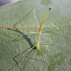 Stick insect drinking