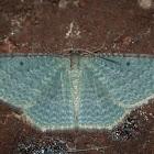 Native Cranberry Moth