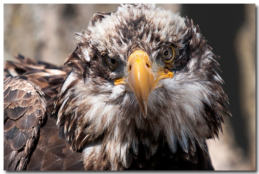 I can see you by Val WestPhotography - Animals Birds ( staring, eagle, rondeau, feathers, eyes )