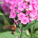 Clearwing humming-bird moth