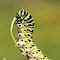 swallowtailpillar1.jpg