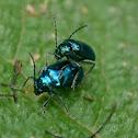 Alder leaf beetles