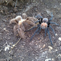 Texas Brown Tarantula pair