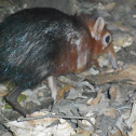 black and rufous elephant-shrew