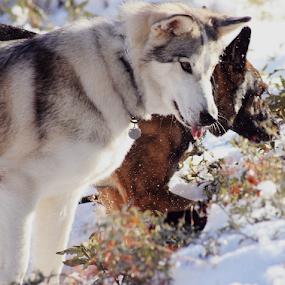 by Viks Pix - Animals - Dogs Playing ( german, hunt, husky, pose, wolf, stalk, playing, shepherd )