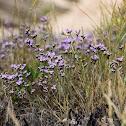 Comman sea-lavender