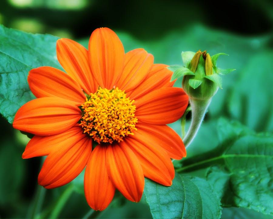 Mother And Daughter by Neshadha Perera - Flowers Single Flower ( orange, green, yellow, bud, flower,  )