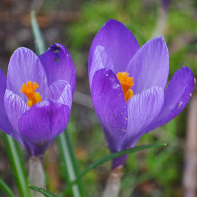 Crocus by Carla Maloco - Flowers Flowers in the Wild ( nature, crocus, spring, flower, closeup )